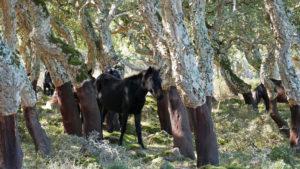 Pferde im Schatten der Korkeichen